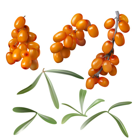 Sea buckthorn, yellow ripe berries and green leaves, set isolated on white background. Collection of juicy sea-buckthorn fruit, design element for packaging cosmetics, food, tea and medical oil