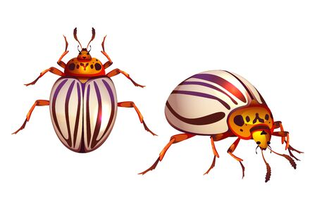 Colorado beetle, potato bug realistic vector illustration. Adult insect agricultural pest with striped wings, ten-striped spearman close-up cartoon top side view, isolated on white background