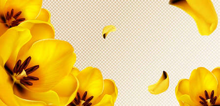 Yellow tulips, flying petals on transparent background with copy space for text. Vector template for spring poster or greeting card with realistic flower bouquet and yellow blossoms Ilustração