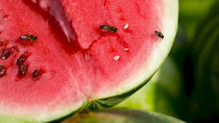 Sale of watermelons. Red and juicy watermelon. Attracts insects with its sweetness. Close up