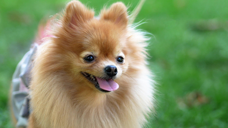 Little fluffy dog on the green grass. Puppy on a green background
