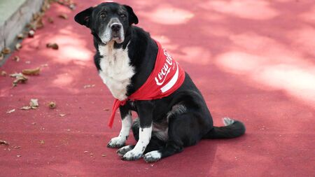 Black dog in a Coca Cola brand shawl sitting on a red carpet in Kyiv, Ukraine