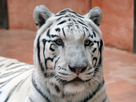 Portrait of a white bengal tiger lying in the zoo aviary and looking into the camera Stok Fotoğraf