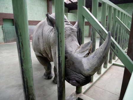 Large male rhino in the winter zoo. Stuck its head through the fence