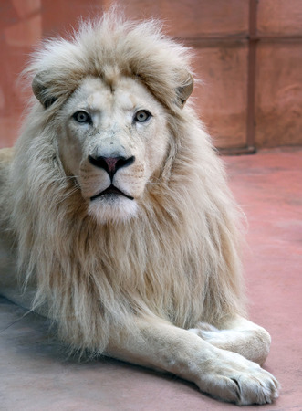 Male white lion is lying in the aviary of the zoo and looking into the camera. Close up
