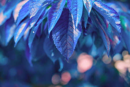 Natural background in blue tones. Abstract background with leaves and bokeh. Big leaf nature view in sunlight with copy space, using as background concept. Sweet cherry leaves, blue tones