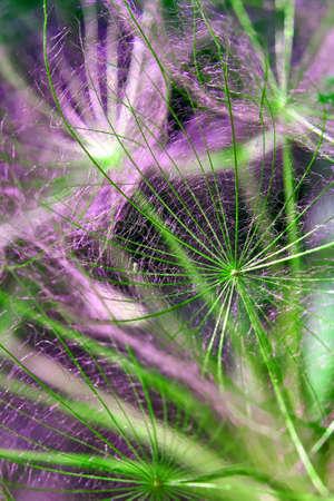 Closeup of seeds with umbrellas. Bright multicolor floral background. Tragopogon pratensis. Misty blurred background of dandelion seeds. Unobtrusive abstract background. Background image