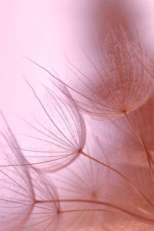 Abstract macro, dandelion closeup Beautiful spring or summer background. Tender pastel pink floral background. Tragopogon pratensis. Misty blurred background of dandelion flowers. Toned dandelion seeds