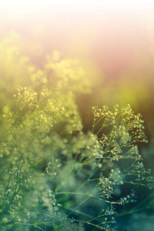 A gentle natural background in pastel colors with a soft accent of blue and yellow shades. Blurred background. Flowering plant umbrella white blossoms of wild meadow grass in spring in nature macro.