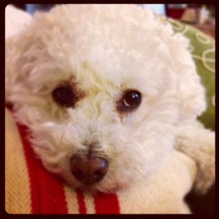 White Maltipoo with sweet puppy eyes on pillows