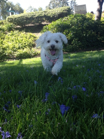 Happy white Maltipoo with pink tongue  Stock Photo