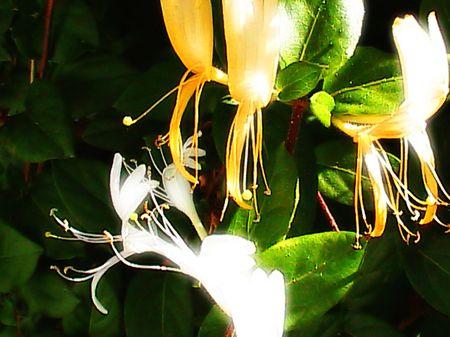 honeysuckle: Honeysuckle ripe