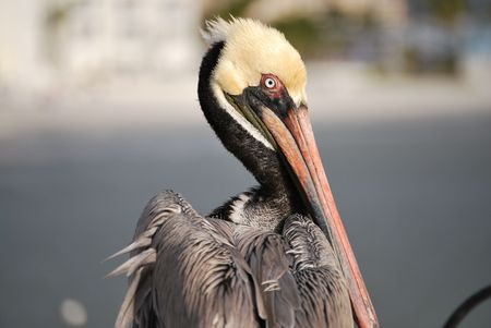 A pelican looking around on the beach