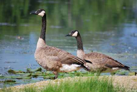 Two geese stand on the edge of a river