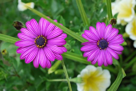 Two purple osteospermum flowers outside during the summer