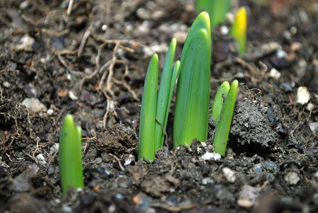 Flower seedlings breaking through the soil