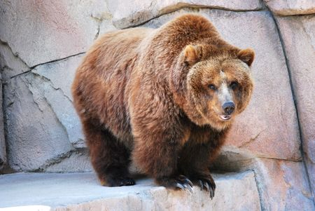 Grizzly bear at the zoo Stock Photo