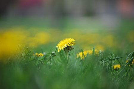 A single dandelion Stock Photo