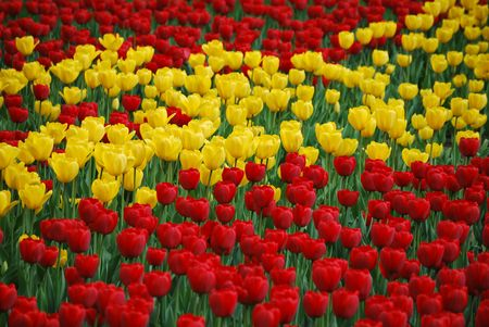 Red and yellow tulips
