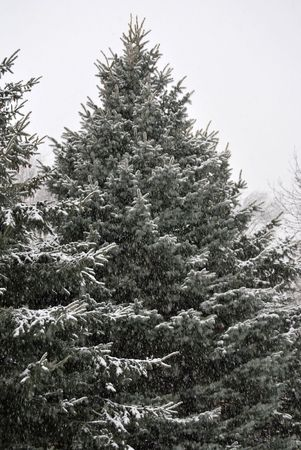 Winter snow falling around a spruce tree Stock Photo