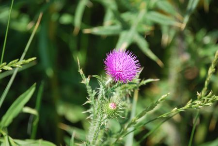 Pink Flower On A Thorn Stock Photo