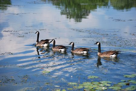 Four geese swimming in a river  Stock Photo