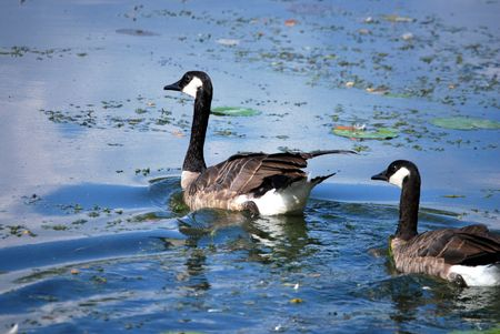 Two geese swim in a river during summer