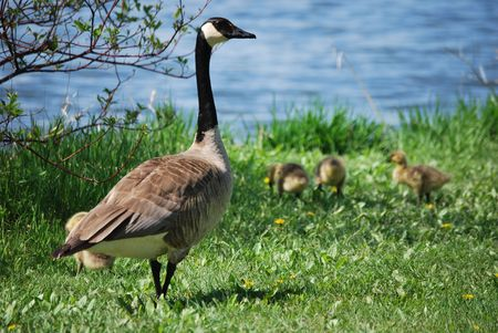 Goose and goslings Stock Photo