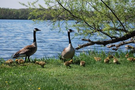 Geese and goslings Stock Photo