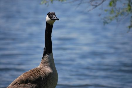 Goose by the water