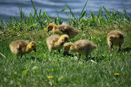 Goslings in the grass Stock Photo