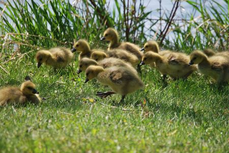 Goslings grazing in the grass