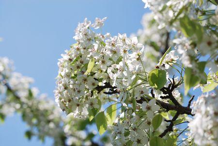 Flowering crab apple tree