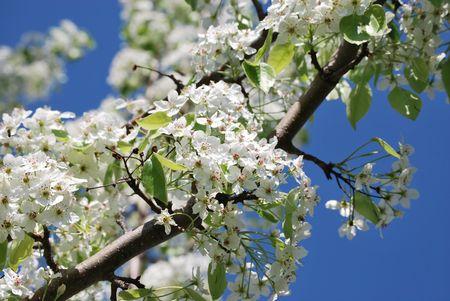 crab apple tree: Flowering crab apple tree