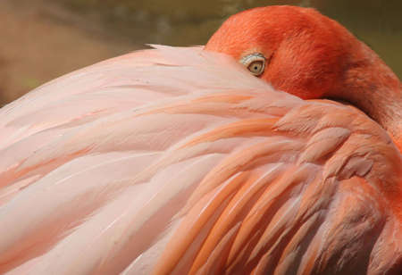 Flamingo at rest with eye open Banco de Imagens