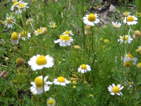 chamomile flower: Chamomile flower