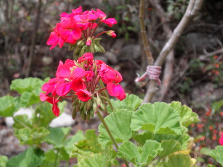 fuchsia: And Fuchsia Pink Flowers Stock Photo
