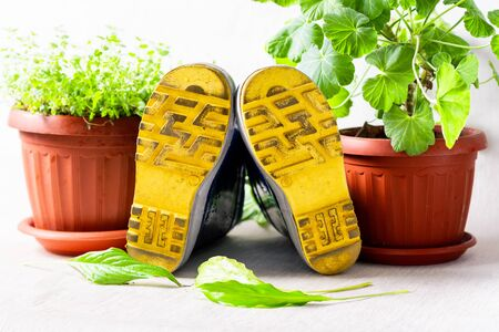 gardening, rubber yellow boots, potted plants on a white background with dew drops