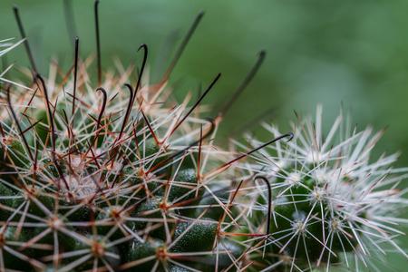 hooker: The Hooker Cactus