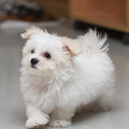 loveliness: puppy breed tiny dog , playfulness , loveliness