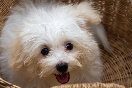 loveliness: Shihtzu puppy breed tiny dog , playfulness , loveliness Stock Photo