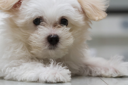 Shih tzu puppy breed tiny dog , playfulness , loveliness