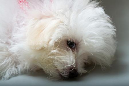 loveliness: Shih tzu puppy breed tiny dog , playfulness , loveliness