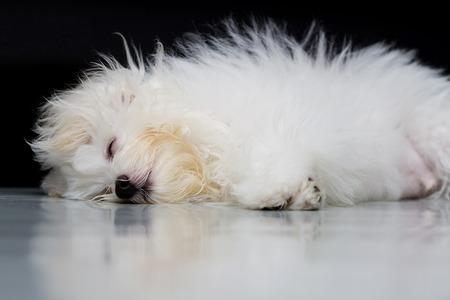 loveliness: Sleep dog, Shih tzu puppy breed tiny dog , playfulness , loveliness