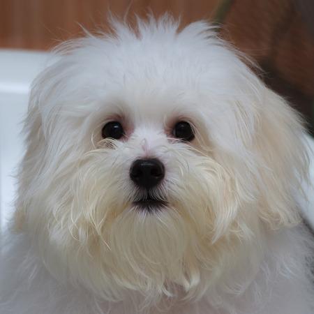 loveliness: Shih tzu puppy breed tiny dog , age 6 month, playfulness, loveliness