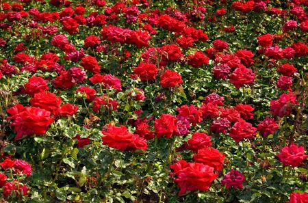 Een veld van rode rozen Stockfoto - 3402100