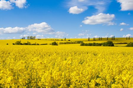 Fields of bright yellow rapeseed flowers with hills and trees Stock Photo
