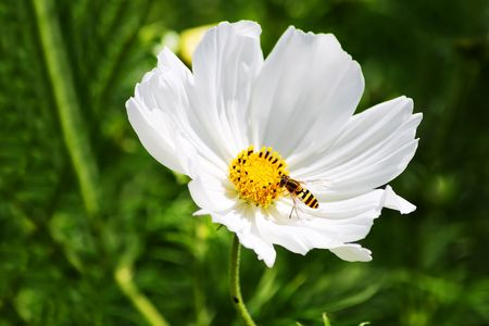 Bee in a small white flower in a green field Stock Photo - 5282143