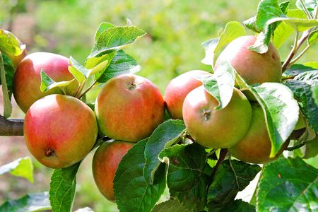 Red apples in a tree branch Stock Photo - 5282140