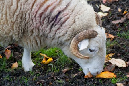 Close up view of an old ram grazing photo